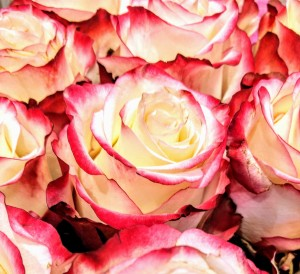 yellow pink roses